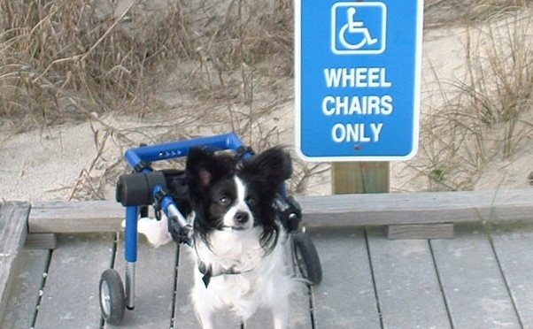 Wheel Chairs only sign with Papillon dog wheelchair user. Cute! Photo courtesy of www.rollingrains.com, travel blog