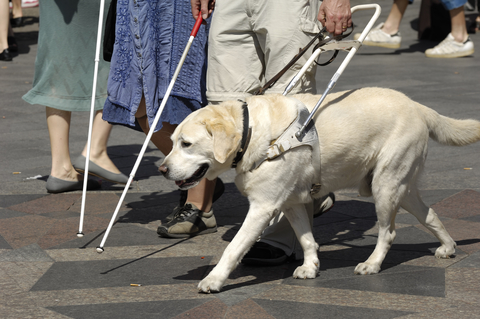 Guide Dog for Blind Walking on City Street