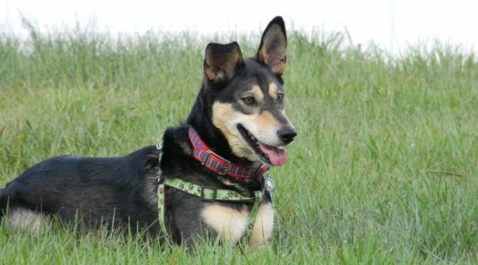 Bella, A Deaf Alert Service Dog. Australian Kelpie. Calm, intuitive and always alert. Photo by Susan P. Berry
